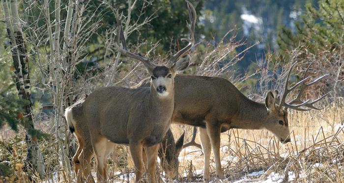 Deer in Boulder