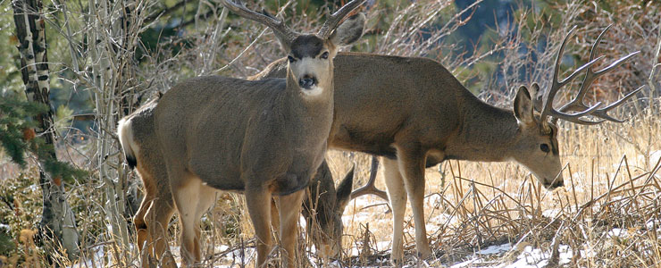 Mule Deer in Boulder County